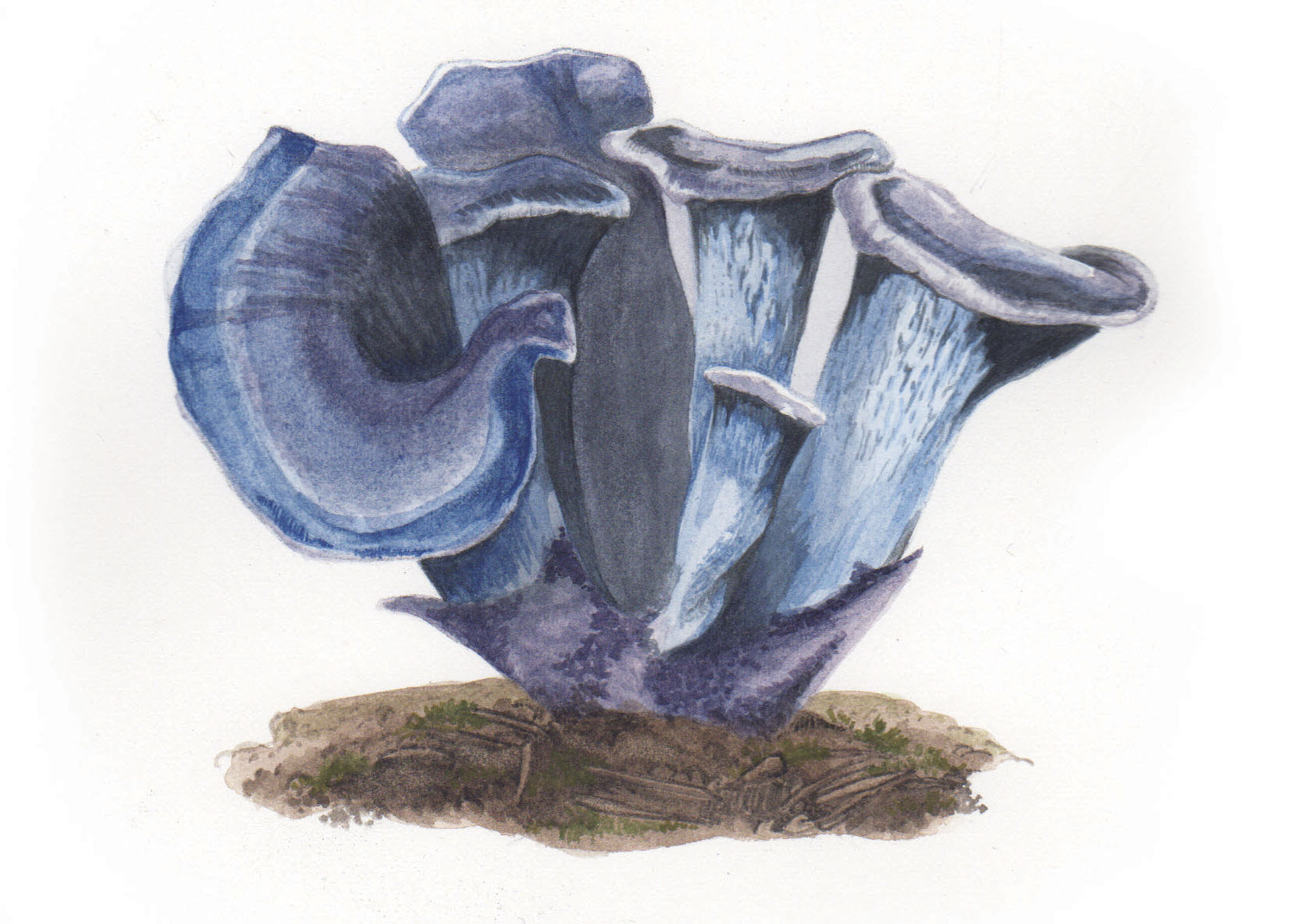 Blue chanterelle mushroom illustration, Ampersand Magazine