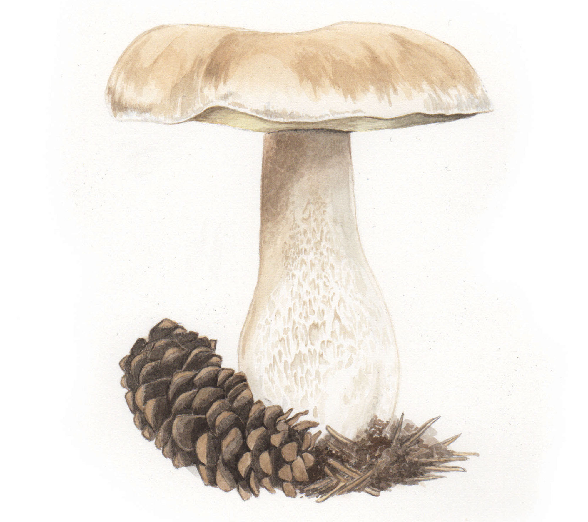 King mushroom illustration, Ampersand Magazine