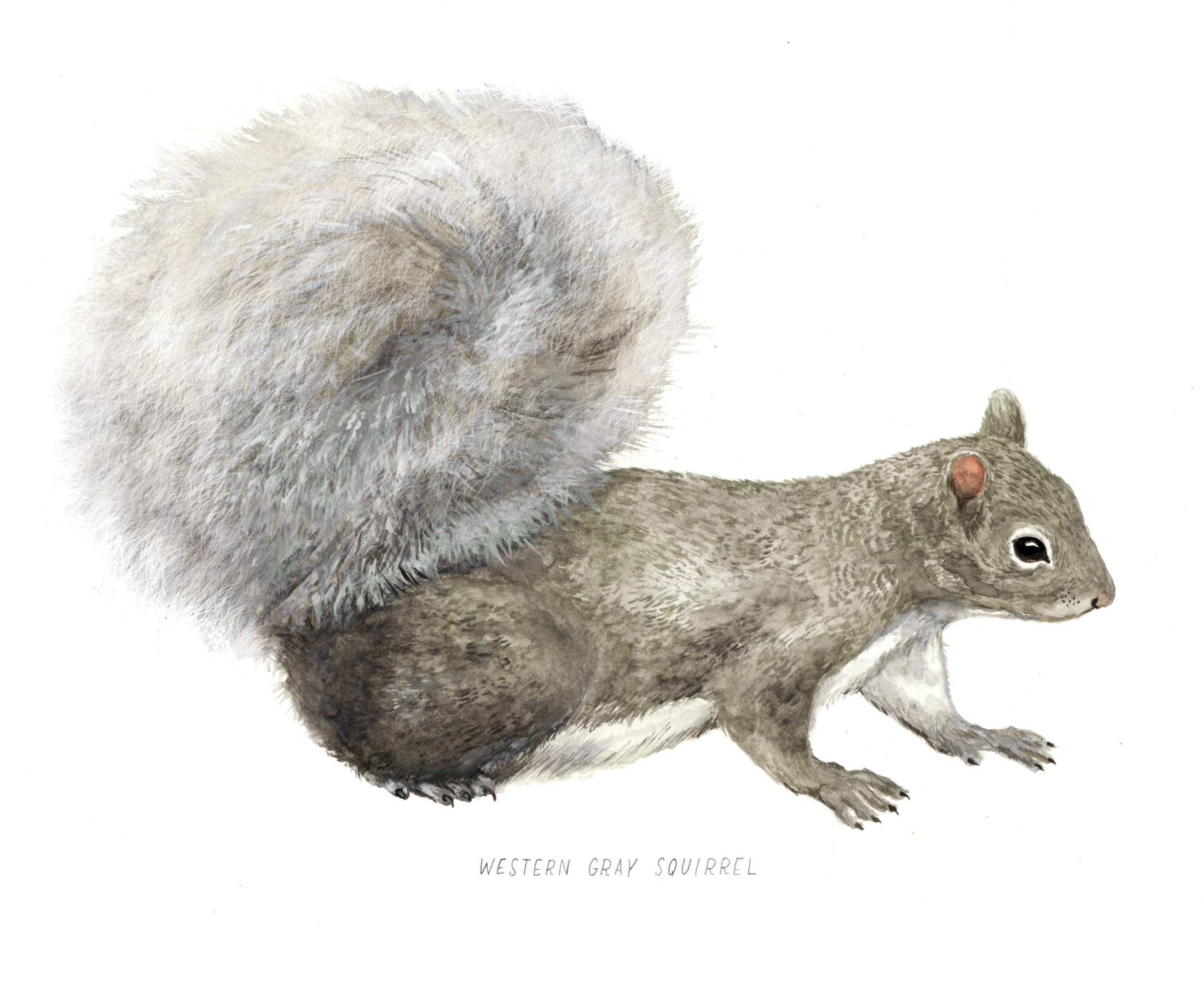 Squirrel illustration by Frida Clements